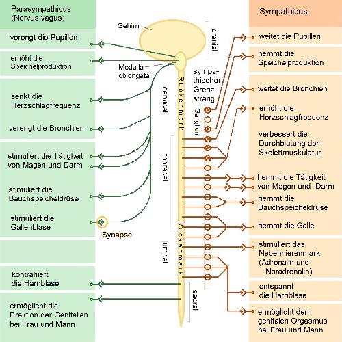 Nerven-staerken-Illustration-vegetatives-Nervensystem